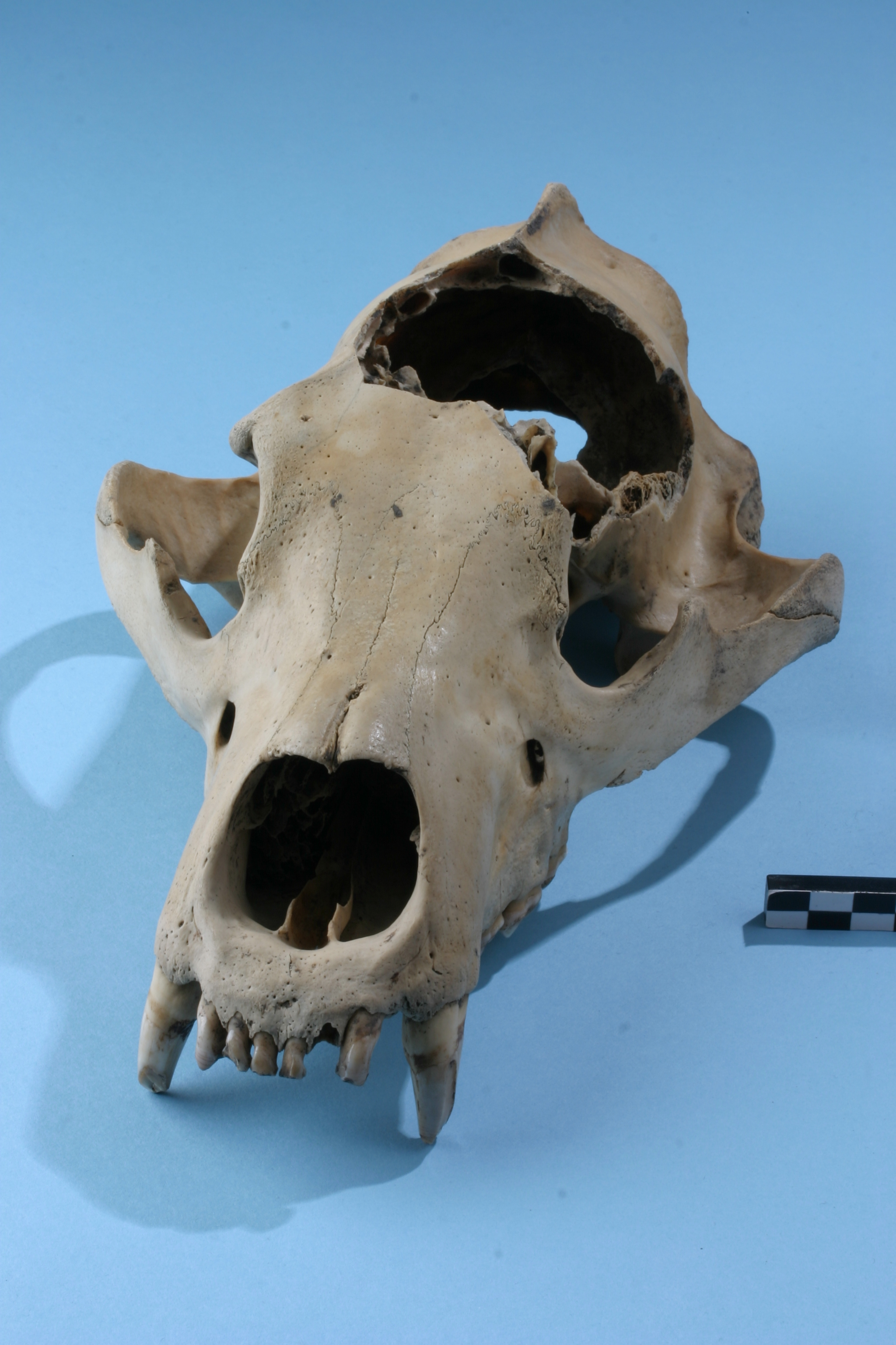 Schedel van een bruine beer uit laat-Romeins Oudenburg (foto Hans Denis, Agentschap Onroerend Erfgoed).